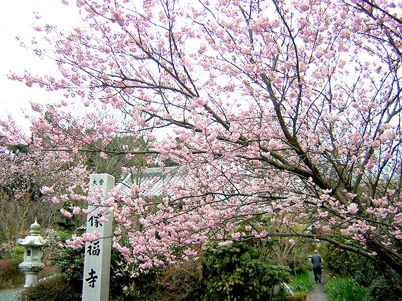 保福寺椿寒桜
