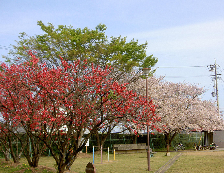 豊田海老塚農村公園 ハナモモ