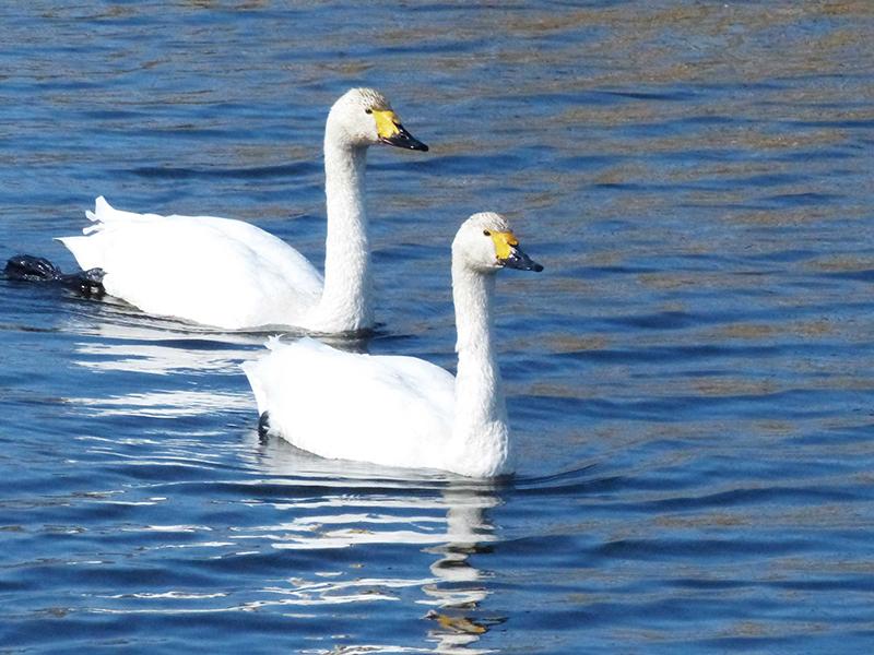 桶ヶ谷沼 野鳥