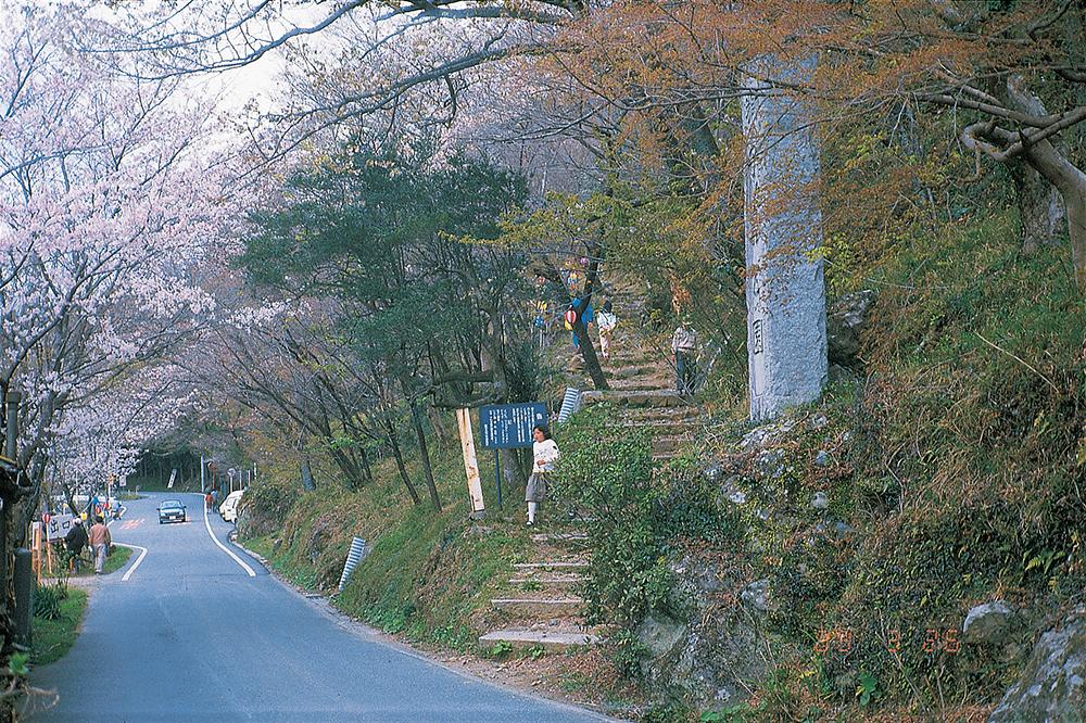 獅子ヶ鼻公園 山桜